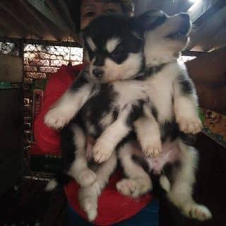 Alaska đen trắng thuần chủng của lylovely23061989 tại Hồ Chí Minh - 2743296