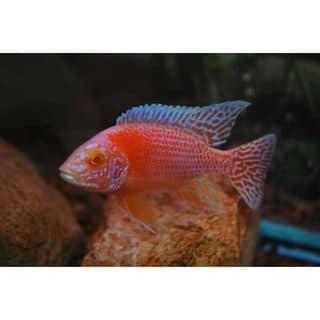 Aulonocara Firefish Albino của ktrinhkien1 tại Hồ Chí Minh - 2110161
