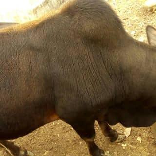 Bán bò của huetung1 tại Lạng Sơn - 2529908