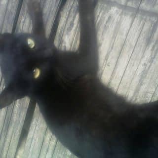 Bán mèo của taybo6 tại Sơn La - 2259033