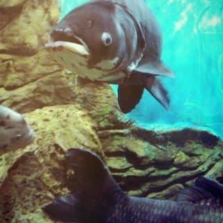 Cá của nguyenson769 tại Shop online, Huyện Giồng Giềng, Kiên Giang - 2313372