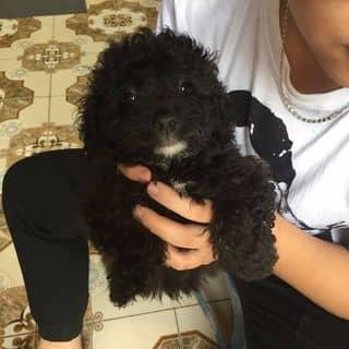 Cần bán chó poodle tiny nhà đẻ rất đáng yêu của toan10921 tại Hồ Chí Minh - 3048241