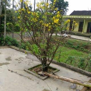 Cay mai của binhduongthai2 tại Quảng Trị - 2709765