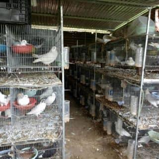 Chim bồ  cau của nguoinoitieng5 tại Shop online, Huyện Bù Gia Mập, Bình Phước - 4420626