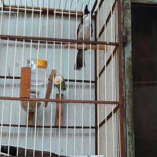 Chim chào mào Huế của trantrung02 tại Hồ Chí Minh - 3104062