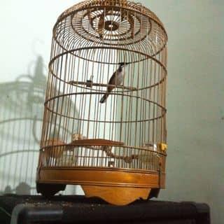 chim chao mao moi của atrong1 tại Bình Phước - 1585249