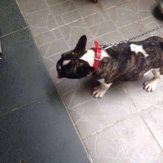 Chó bull đực của phamngocthanhthao22 tại Hồ Chí Minh - 3556872