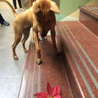 Chó Phú quốc thuần chủng của trangiang287 tại Hồ Chí Minh - 3928747