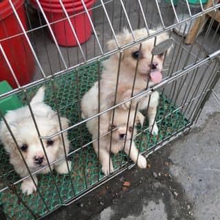 Cún chó 🐶🐶🐶🐶 của phuongthuynguyen24 tại Hải Dương - 3163821