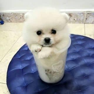 Đàn Cún POM&Poodle của binbon_dogshop tại Hồ Chí Minh - 3170223