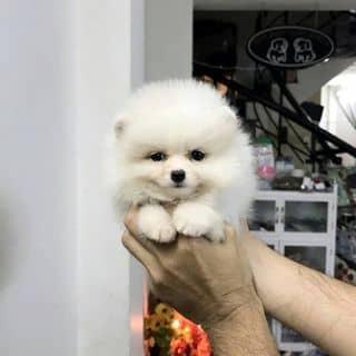 Đàn POM&POODLE Thái bao xinh của binbon_dogshop tại Hồ Chí Minh - 3218943