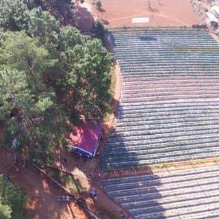 Dâu tây chimi của daohungthaibinh tại Bảng Áng, Đông Sang, Huyện Mộc Châu, Sơn La - 4929931