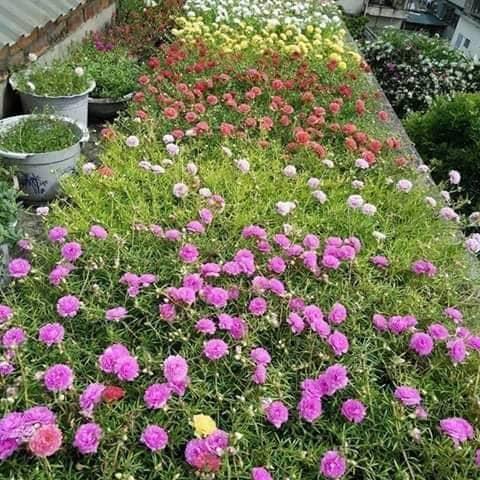 Hạt giống hoa 10h mix màu - 4735851 duong_thu - Shop online - Hồ Chí Minh