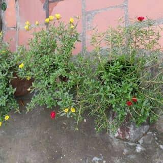 Hoa của iêm 🌺🌺🌺 của huyentrangnguyen33 tại Vĩnh Phúc - 3365473