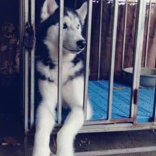 Husky mắt xanh của nam_thang10x tại Hà Giang - 3074624