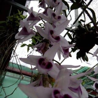Phong lan của huyanh109 tại Ninh Bình - 3462431