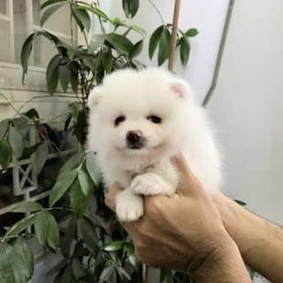 Pom Thái giá tốt. của binbon_dogshop tại Hồ Chí Minh - 3399173