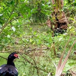 Vịt xiêm trong rừng của tyngok tại Tiền Giang - 1423551